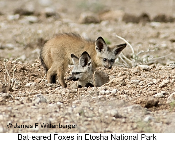 Bat-eared Fox - © The Photographer and Exotic Birding LLC