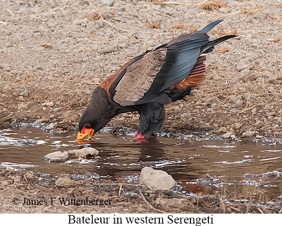 Bateleur - © James F Wittenberger and Exotic Birding Tours