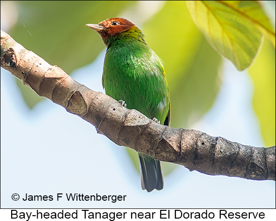 Bay-headed Tanager - © James F Wittenberger and Exotic Birding LLC