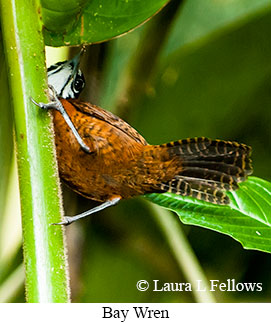 Bay Wren - © Laura L Fellows and Exotic Birding Tours