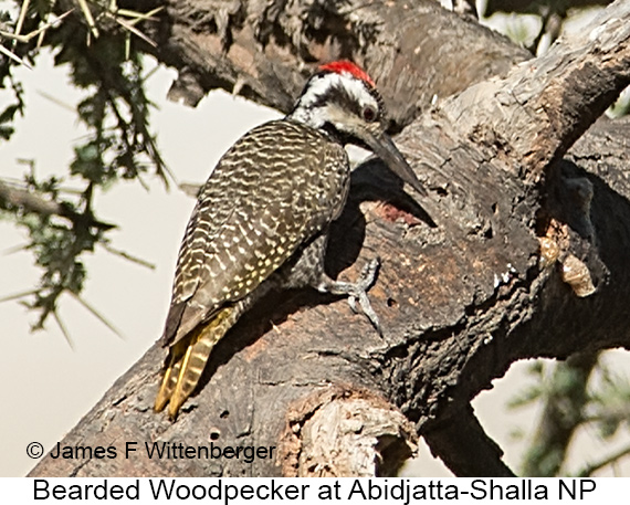 Bearded Woodpecker - © James F Wittenberger and Exotic Birding LLC
