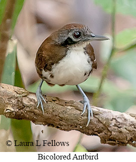 Bicolored Antbird - © Laura L Fellows and Exotic Birding Tours