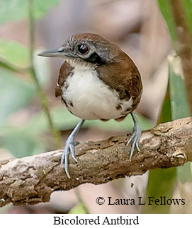 Bicolored Antbird - © Laura L Fellows and Exotic Birding LLC