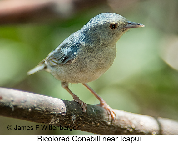 Bicolored Conebill - © James F Wittenberger and Exotic Birding LLC