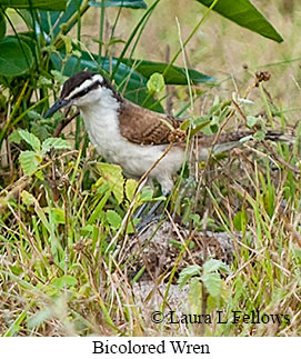 Bicolored Wren - © Laura L Fellows and Exotic Birding LLC