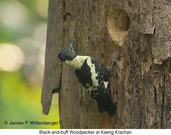 Black-and-buff Woodpecker - © James F Wittenberger and Exotic Birding Tours