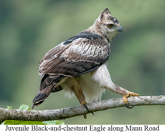 Black-and-chestnut Eagle - © James F Wittenberger and Exotic Birding Tours