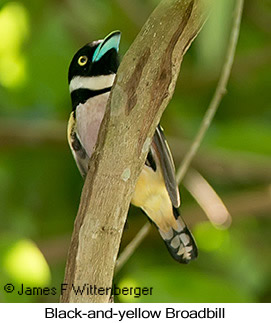 Black-and-yellow Broadbill - © James F Wittenberger and Exotic Birding LLC