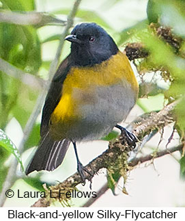 Black-and-yellow Silky-flycatcher - © Laura L Fellows and Exotic Birding LLC