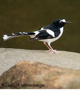 Black-backed Forktail - © James F Wittenberger and Exotic Birding Tours