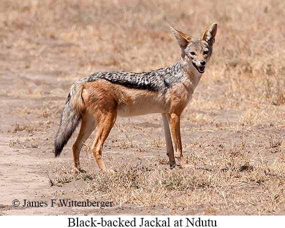 Black-backed Jackal - © James F Wittenberger and Exotic Birding Tours