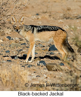 Black-backed Jackal - © James F Wittenberger and Exotic Birding LLC