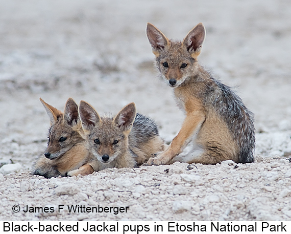 Black-backed Jackal - © Laura L Fellows and Exotic Birding Tours