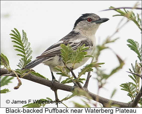 Black-backed Puffback - © James F Wittenberger and Exotic Birding LLC