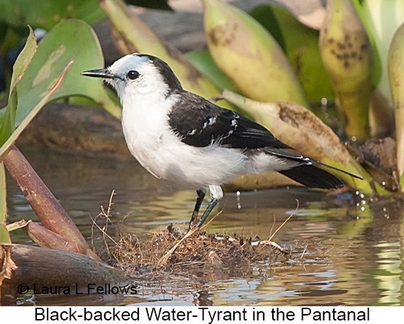 Black-backed Water-Tyrant - © Laura L Fellows and Exotic Birding LLC