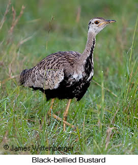 Black-bellied Bustard - © James F Wittenberger and Exotic Birding Tours