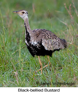 Black-bellied Bustard - © James F Wittenberger and Exotic Birding LLC