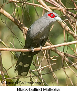 Black-bellied Malkoha - © James F Wittenberger and Exotic Birding LLC