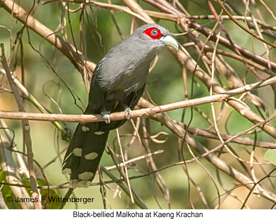 Black-bellied Malkoha - © James F Wittenberger and Exotic Birding Tours