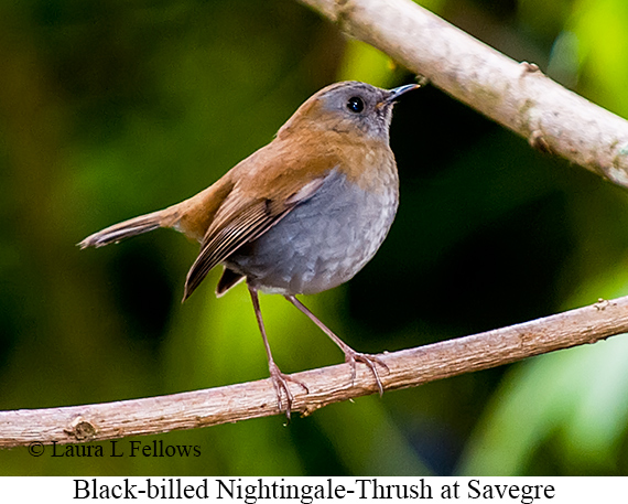 Black-billed Nightingale-Thrush - © Laura L Fellows and Exotic Birding LLC