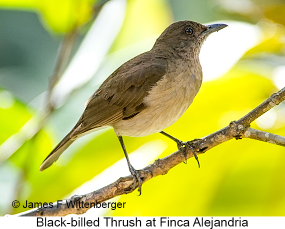 Black-billed Thrush - © James F Wittenberger and Exotic Birding LLC