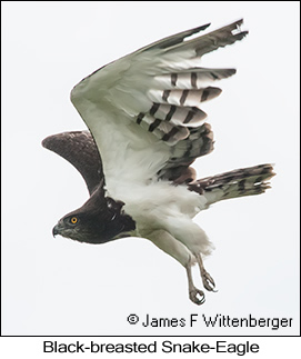 Black-breasted Snake-Eagle - © James F Wittenberger and Exotic Birding LLC