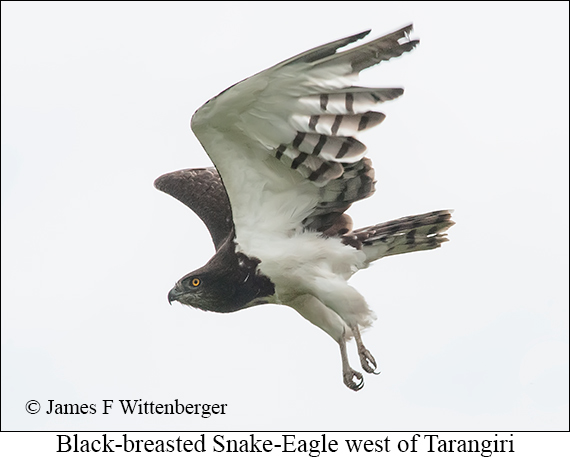 Black-breasted Snake-Eagle - © James F Wittenberger and Exotic Birding Tours