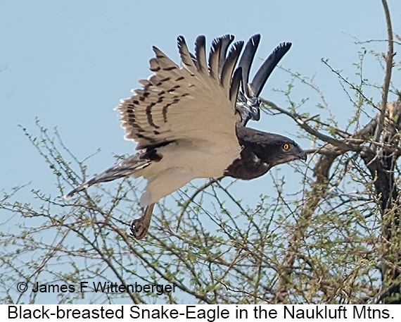 Black-breasted Snake-Eagle - © The Photographer and Exotic Birding LLC