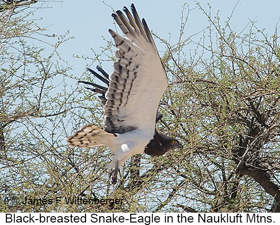 Black-breasted Snake-Eagle - © Laura L Fellows and Exotic Birding Tours
