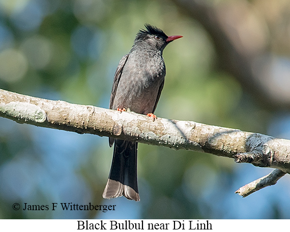 Black Bulbul - © James F Wittenberger and Exotic Birding LLC