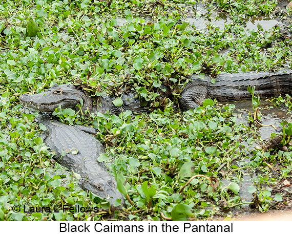 Black Caiman - © Laura L Fellows and Exotic Birding Tours
