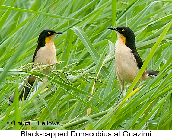 Black-capped Donacobius - © Laura L Fellows and Exotic Birding Tours