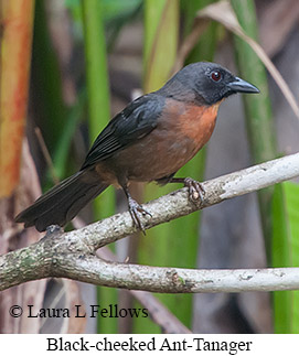 Black-cheeked Ant-Tanager - © Laura L Fellows and Exotic Birding Tours