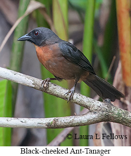 Black-cheeked Ant-Tanager - © Laura L Fellows and Exotic Birding LLC