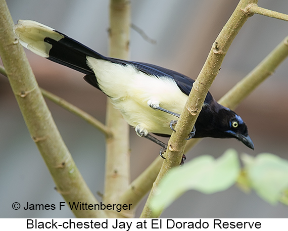 Black-chested Jay - © The Photographer and Exotic Birding LLC