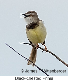Black-chested Prinia - © James F Wittenberger and Exotic Birding LLC