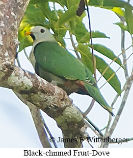 Black-chinned Fruit-Dove - © James F Wittenberger and Exotic Birding Tours