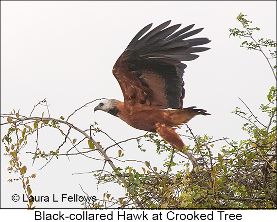 Black-collared Hawk - © Laura L Fellows and Exotic Birding LLC