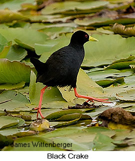 Black Crake - © James F Wittenberger and Exotic Birding Tours