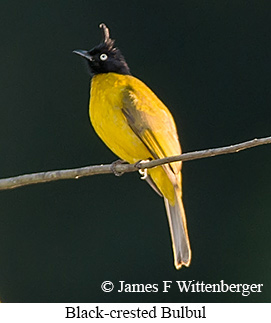 Black-crested Bulbul - © James F Wittenberger and Exotic Birding Tours