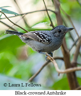 Black-crowned Antshrike - © Laura L Fellows and Exotic Birding Tours