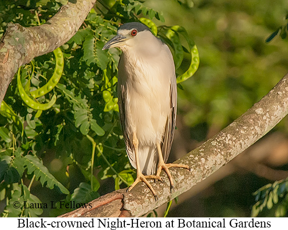 Black-crowned Night-Heron - © Laura L Fellows and Exotic Birding LLC