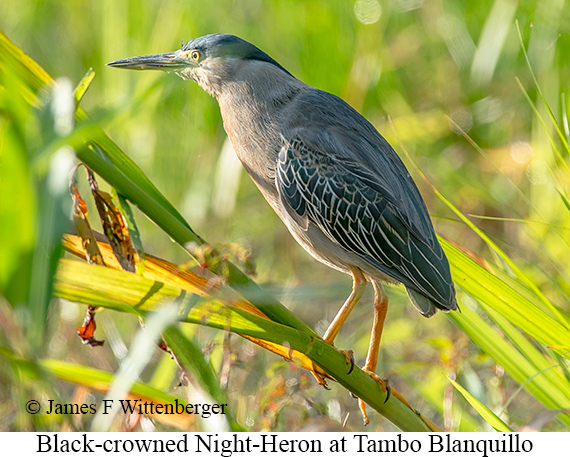 Black-crowned Night-Heron - © James F Wittenberger and Exotic Birding Tours