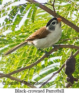 Black-crowned Parrotbill - © James F Wittenberger and Exotic Birding Tours