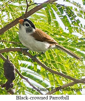 Black-crowned Parrotbill - © James F Wittenberger and Exotic Birding LLC