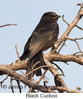 Black Cuckoo - © James F Wittenberger and Exotic Birding LLC