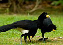 Black Curassow - © Laura L Fellows and Exotic Birding Tours
