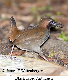 Black-faced Antthrush - © James F Wittenberger and Exotic Birding LLC