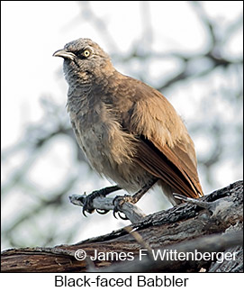 Black-faced Babbler - © James F Wittenberger and Exotic Birding LLC