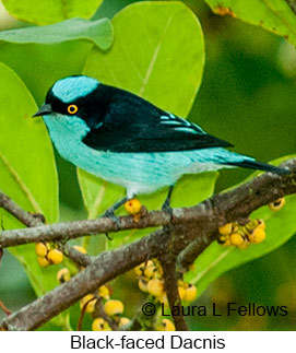 Black-faced Dacnis - © Laura L Fellows and Exotic Birding LLC